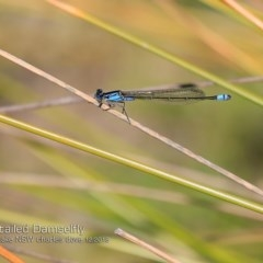 Ischnura heterosticta (Common Bluetail) at Meroo National Park - 18 Dec 2018 by Charles Dove