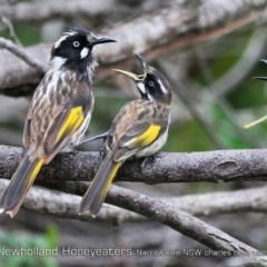 Phylidonyris novaehollandiae (New Holland Honeyeater) at One Track For All - 20 Dec 2018 by CharlesDove