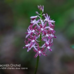 Dipodium variegatum (Blotched Hyacinth Orchid) at Garrad Reserve Walking Track - 17 Dec 2018 by CharlesDove