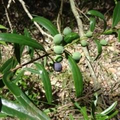 Santalum obtusifolium at Conjola Bushcare - 6 Jan 2019