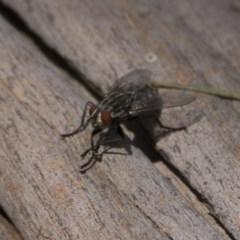 Sarcophagidae sp. (family) (Unidentified flesh fly) at Stranger Pond - 6 Jan 2019 by WarrenRowland