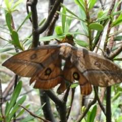 Opodiphthera helena (Helena Gum Moth) at Namadgi National Park - 6 Jan 2019 by jmcleod