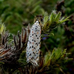 Utetheisa sp. (genus) (A tiger moth) at Wandiyali-Environa Conservation Area - 11 Jan 2019 by Wandiyali