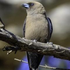 Artamus cyanopterus (Dusky Woodswallow) at Majura, ACT - 30 Dec 2018 by BIrdsinCanberra