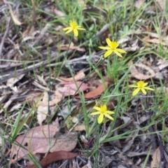 Tricoryne elatior (Yellow Rush Lily) at Carwoola, NSW - 6 Jan 2019 by Zoed