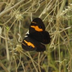 Tisiphone abeona (Varied Swordgrass Brown) at Meroo National Park - 3 Jan 2019 by MatthewFrawley