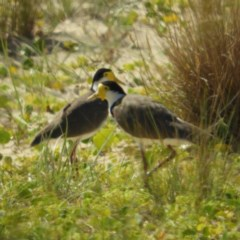 Vanellus miles (Masked Lapwing) at Meroo National Park - 3 Jan 2019 by MatthewFrawley