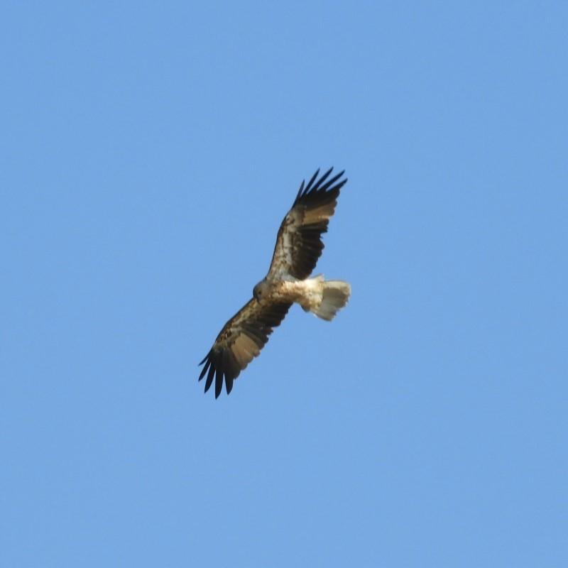 Haliastur sphenurus at Meroo National Park - 4 Jan 2019