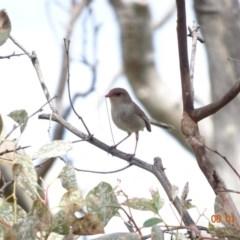 Malurus cyaneus at Red Hill Nature Reserve - 6 Jan 2019