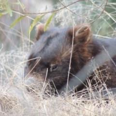 Vombatus ursinus (Wombat) at Bullen Range - 17 Dec 2018 by michaelb