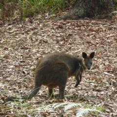 Wallabia bicolor (Swamp Wallaby) at Meroo National Park - 3 Jan 2019 by MatthewFrawley