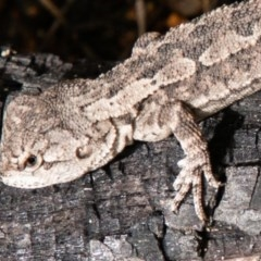 Amphibolurus muricatus (Jacky Lizard) at Paddys River, ACT - 15 Dec 2018 by SWishart