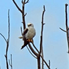 Elanus axillaris (Black-shouldered Kite) at Jerrabomberra Wetlands - 5 Jan 2019 by RodDeb