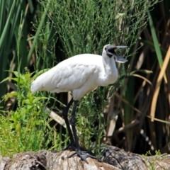 Platalea regia (Royal Spoonbill) at Jerrabomberra Wetlands - 5 Jan 2019 by RodDeb