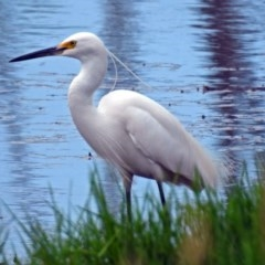 Egretta garzetta (Little Egret) at Jerrabomberra Wetlands - 5 Jan 2019 by RodDeb