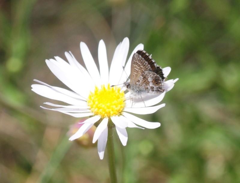Neolucia hobartensis at Namadgi National Park - 3 Jan 2019