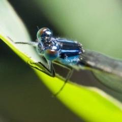Ischnura heterosticta (Common Bluetail) at Panboola - 6 Jan 2019 by harris1737