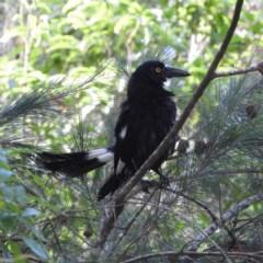 Strepera graculina (Pied Currawong) at Meroo National Park - 3 Jan 2019 by MatthewFrawley