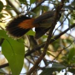 Rhipidura rufifrons (Rufous Fantail) at Meroo National Park - 3 Jan 2019 by MatthewFrawley