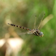 Adversaeschna brevistyla (Blue-spotted Hawker) at Meroo National Park - 3 Jan 2019 by MatthewFrawley