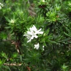 Westringia fruticosa (Native Rosemary) at Meroo National Park - 2 Jan 2019 by MatthewFrawley