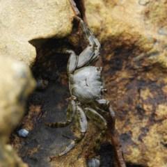 Cyclograpsus audouinii (TBC) at Termeil, NSW - 3 Jan 2019 by MatthewFrawley