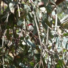 Neochmia temporalis (Red-browed Finch) at Red Hill Nature Reserve - 8 Jan 2019 by TomT