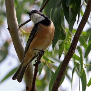 Pachycephala rufiventris at Jerrabomberra Wetlands - 3 Jan 2019