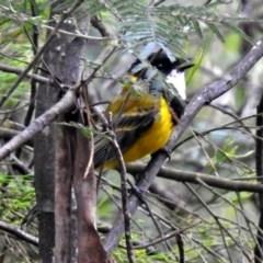 Pachycephala pectoralis (Golden Whistler) at Tidbinbilla Nature Reserve - 7 Jan 2019 by RodDeb