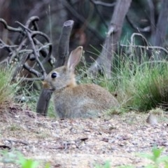 Oryctolagus cuniculus (European Rabbit) at Tidbinbilla Nature Reserve - 7 Jan 2019 by RodDeb
