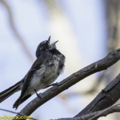 Rhipidura fuliginosa (Grey Fantail) at Red Hill Nature Reserve - 4 Jan 2019 by BIrdsinCanberra