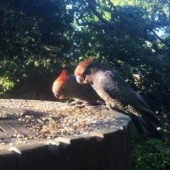 Callocephalon fimbriatum (Gang-gang Cockatoo) at Hughes, ACT - 24 Dec 2018 by ruthkerruish