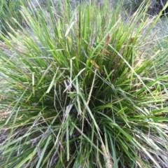 Lomandra longifolia (Spinyhead Matrush) at Meroo National Park - 3 Jan 2019 by MatthewFrawley