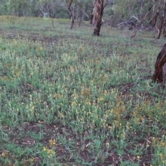 Chrysocephalum apiculatum (Common Everlasting) at Hughes, ACT - 8 Jan 2019 by JackyF