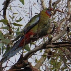 Platycercus elegans (Crimson Rosella) at Red Hill Nature Reserve - 8 Jan 2019 by JackyF