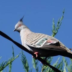 Ocyphaps lophotes (Crested Pigeon) at Hughes, ACT - 8 Jan 2019 by JackyF