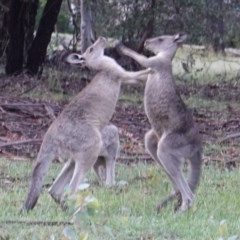 Macropus giganteus (Eastern Grey Kangaroo) at Hughes Grassy Woodland - 8 Jan 2019 by JackyF