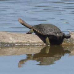 Chelodina longicollis (Eastern Long-neck Turtle) at Jerrabomberra Wetlands - 3 Jan 2019 by Christine