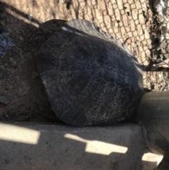 Chelodina longicollis (Eastern Long-neck Turtle) at Mulligans Flat - 9 Jan 2019 by JasonC