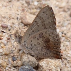 Paralucia aurifer (Bright Copper) at Namadgi National Park - 7 Jan 2019 by Christine