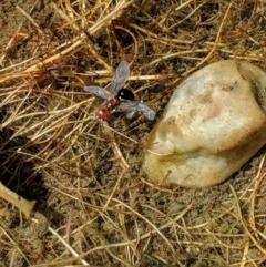 Unidentified True fly (Diptera) (TBC) at Karabar, NSW - 9 Jan 2019 by Speedsta