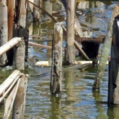 Porzana fluminea at Jerrabomberra Wetlands - 9 Jan 2019