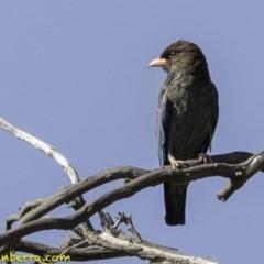 Eurystomus orientalis (Dollarbird) at Callum Brae - 1 Jan 2019 by BIrdsinCanberra