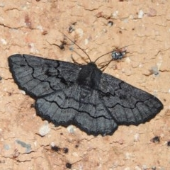 Melanodes anthracitaria (Black Geometrid) at Conder, ACT - 24 Dec 2018 by michaelb