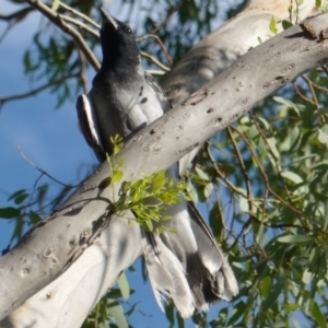 Coracina novaehollandiae at Red Hill Nature Reserve - 9 Jan 2019