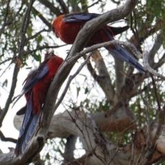 Platycercus elegans at Red Hill Nature Reserve - 7 Jan 2019