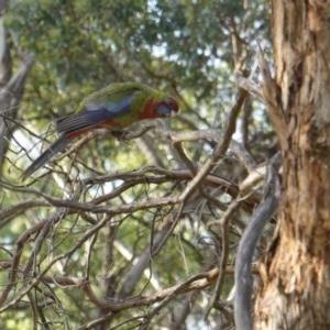 Platycercus elegans at Red Hill Nature Reserve - 8 Jan 2019