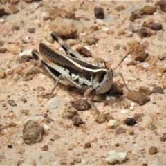 Macrotona australis (Common Macrotona Grasshopper) at Molonglo River Park - 10 Jan 2019 by JohnBundock