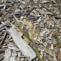 Rytidosperma caespitosum at Sth Tablelands Ecosystem Park - 20 Dec 2018