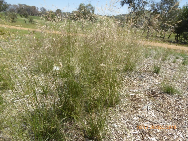 Austrostipa bigeniculata at Molonglo Valley, ACT - 20 Dec 2018
